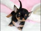 犬舍诚信直销 吉娃娃幼犬 健康纯种 支持上门可送货 无中介!