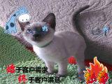 碧蓝色的眼睛,漂亮可爱小暹罗猫对外出售
