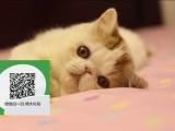 柳州哪里有加菲猫出售 柳州加菲猫价格 柳州宠物猫转让出售