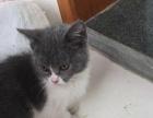 宜兴本地家庭猫舍自己养的蓝猫宝宝喜欢的速度联系