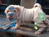 宠物店和狗市里的沙皮犬可以买吗 健康的多少钱一只