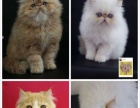 长期出售咖啡猫,蓝猫,另有种公借配