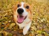小短腿威尔士柯基幼犬