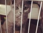 包子脸折耳蓝猫幼崽,多只可选,疫苗齐全,保健康