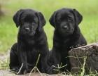 黑色白色拉布拉多犬出售了,屬于可以導盲用的哦家養