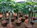 公明专业绿植出租,园林绿化,绿化养护,各种花卉,大型花场直销
