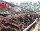 湘潭肉牛犊价格多少钱一头西门塔尔牛鲁西黄牛夏洛莱牛