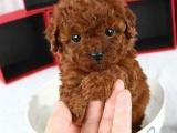广州哪里有正规狗场 广州哪里有卖纯种泰迪熊