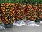 出售盆栽金桔