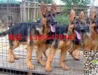 杜高犬幼崽多少钱一条,纯种杜高犬