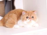 较大CFA认证猫舍自家繁殖纯种加菲猫 可上门 看父母