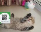 徐州在哪里卖健康纯种宠物猫 徐州哪里出售金吉拉
