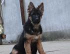 cku注册五星级犬舍 双血统德国牧羊犬黑背可上门挑选