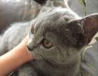 3个月大蓝猫弟弟