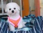 本地正规犬场一出售超萌可爱比熊幼犬一签协议