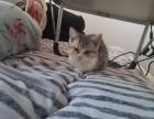 美短小母猫,价格便宜,非常亲人,只限北京,只有一只哦