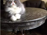 纯种波斯猫,猫舍繁殖,健康纯种,品质保障