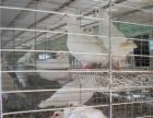 漯河鸽子养殖加盟 包回收 包技术 包种鸽 包笼具