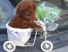 哪里有卖纯种泰迪幼犬 闵行有卖泰迪宠物狗狗