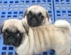 纯种巴哥幼犬巴哥犬 小型犬宠物幼犬 宠物活体