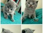 家养蓝猫,活泼健康!
