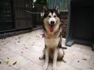 美国阿拉斯加纯种公犬TEEMO LIU相亲