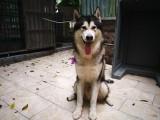美國阿拉斯加純種公犬TEEMO LIU相親