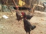 纯种越南斗鸡