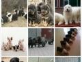 凭身份证领狗——养殖户狗狗送人,只收疫苗费—有证书