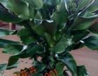 天津宝坻花卉租摆绿植销售绿植养护服务公司海明花卉全城配送送货