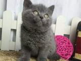 河南郑州纯种双血统蓝猫出售价格