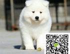 m澳版熊版纯白萨摩耶 赛级品质 购买可签协议