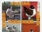 安庆元宝鸽价格2016年元宝鸽价格