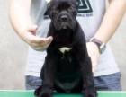 纯种卡斯罗犬幼犬出售公母都有犬舍直销保证健康