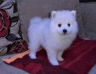 高品质 银狐幼犬 日本尖嘴 包健康纯种