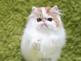 波斯猫宠物猫波斯猫蓝白波斯猫幼猫纯种波斯猫活体包邮