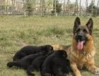 家养一窝纯种德国牧羊犬出售 公母都有可挑选包健康