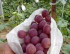 昆明市石林县70亩葡萄种植园转让或出租