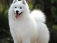 纯种萨摩耶 自养萨摩犬 品相纯正 包健康 价格优惠
