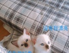 自家育品相极佳暹罗猫幼猫出售