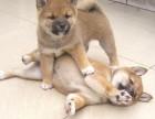 信誉服务 高端品质保障 纯种秋田犬 常年有货