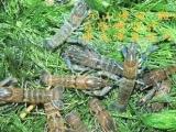 台湾严选 澳洲淡水龙虾苗4-5cm 优质、易放养效益高