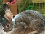 两只兔子总共50