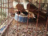 张家界精品燕子观赏鸽多少钱一对