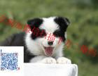 智商第一的边境牧羊犬 价格最低 品相最好