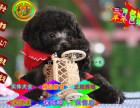 哪里有泰迪幼犬出售 茶杯泰迪成年多大 泰迪多多少钱