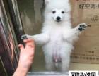 日本尖嘴正健康出售-幼犬出售,当地可以上门挑选