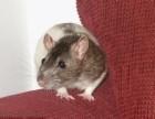 新津灭鼠公司+新津专业灭鼠公司+成都绿卫灭鼠公司