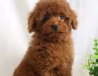 CKU犬舍出售泰迪 博美 比熊 吉娃娃巴哥柯基萨摩