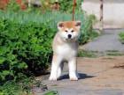 石家庄附近哪里有正规犬舍卖秋田犬的 纯种秋田犬一般多少钱一只